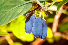 Free Ripe Honeysuckle Berry And Leaves On Branch Royalty Free Stock Photography - 74640607