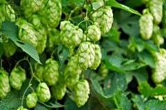 Ripe Hop Royalty Free Stock Photography