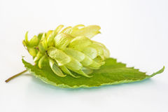 Ripe hop cone Stock Photography