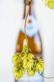 Ripe hop cones Royalty Free Stock Image