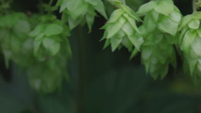 Ripe hop cones in the hop garden. Ripe hop cones - raw material for beer production stock video footage