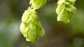 Ripe hop cones stock footage