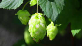 Ripe hops plant close up stock video footage