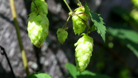 Ripe hops plant close up stock video