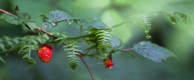 Ripe Huckleberry fruits, Stock Image