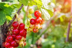 Ripe and immature redcurrant. Red currant berries on the branch with green leaves.  royalty free stock photo