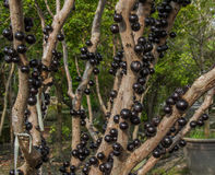 Ripe jabuticaba fruit Royalty Free Stock Photo