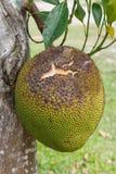Ripe jackfruit Stock Image
