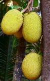Ripe Jackfruits hanging on Tree Stock Image