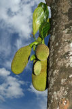 Ripe Jackfruits Royalty Free Stock Photo