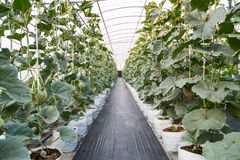 Ripe japanese net melon growing in greenhouse. Ready to harvest Stock Photo