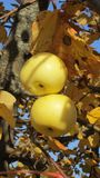 Apples on a branch with yellow leaves stock image