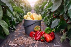 Ripe juicy bell peppers in commercial greenhouse. Paprika growing in agricultural greenhouse garden. Planting, growing, and harvesting bell peppers stock images