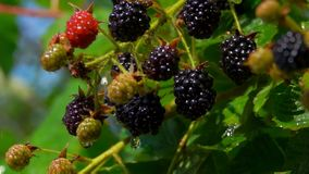 Ripe juicy blackberry hang on branches in the rain. Bush branches is juicy ripe blackberry stock video footage