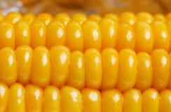 Ripe juicy boiled corn closeup Stock Photos