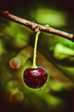 Ripe juicy cherry. In the garden Royalty Free Stock Photography