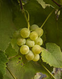 Ripe juicy cluster of grapes Stock Images