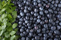 Ripe and juicy fresh picked blueberries closeup. Blueberry background.Top view Royalty Free Stock Photos
