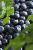 Ripe and juicy fresh picked blueberries closeup. Selective focus Stock Images