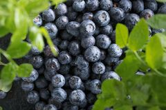 Ripe and juicy fresh picked blueberries closeup. Selective focus Royalty Free Stock Image