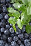 Ripe and juicy fresh picked blueberries closeup. Selective focus Stock Photography