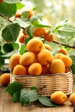 Ripe juicy fruit apricot with leaves Stock Images