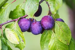 Ripe juicy fruits on a plum tree in summer garden. Fresh organic. Plums growing in countryside stock photo