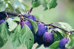 Ripe juicy fruits on a plum tree in summer garden. Fresh organic. Plums growing in countryside royalty free stock photos
