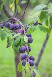 Ripe juicy fruits on a plum tree in summer garden. Fresh organic. Plums growing in countryside royalty free stock image