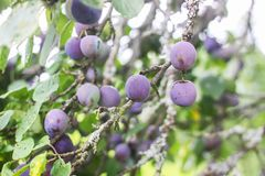 Ripe juicy fruits on a plum tree in summer garden. Fresh organic. Plums growing in countryside stock image