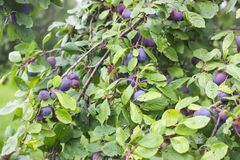 Ripe juicy fruits on a plum tree in summer garden. Fresh organic. Plums growing in countryside royalty free stock images