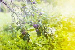 Ripe juicy fruits on a plum tree in summer garden. Fresh organic. Plums growing in countryside stock images