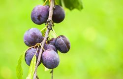 Ripe juicy fruits on a plum tree in summer garden. Fresh organic. Purple plums growing in countryside stock photo