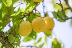 Ripe juicy fruits on a plum tree in summer garden. Fresh organic. Yellow sweet plums growing in countryside royalty free stock photography