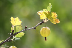 Ripe juicy gooseberries on a branch Stock Photos