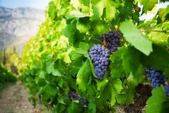Ripe juicy grapes growing in valley Stock Photography