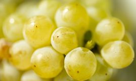 Ripe juicy green grapes in the garden Royalty Free Stock Photo