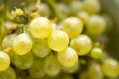 Ripe juicy green grapes in the garden Royalty Free Stock Image