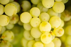 Ripe juicy green grapes in the garden Stock Photography