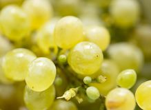 Ripe juicy green grapes in the garden Stock Photo