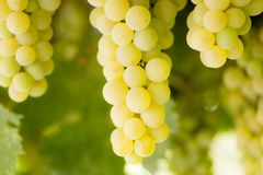 Ripe juicy green grapes in the garden Royalty Free Stock Photography