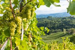 Ripe juicy green grapes for white vine in vineyard on south Styr. Ian vine route in Austria Royalty Free Stock Images