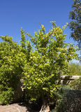 Ripe juicy lemons on the tree Stock Image