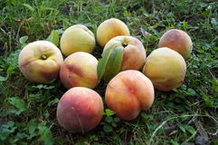 Ripe juicy peaches with a yellow-pink skin Stock Photography