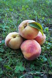 Ripe juicy peaches with a yellow-pink skin Royalty Free Stock Image