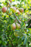 Ripe and juicy pear fruit on the branch Royalty Free Stock Photography