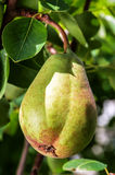 Ripe and juicy pear Stock Image