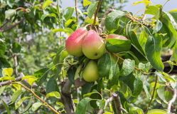 Ripe juicy pears Royalty Free Stock Image