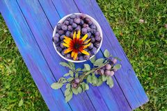 Ripe juicy plum fruits on aged blue wooden table in a summer gar. Ripe juicy plum fruits in a cup on aged blue wooden table in a summer garden. Fresh organic stock photo