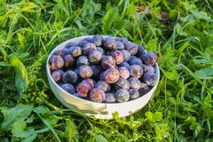 Ripe juicy plum fruits in a cup on green summer grass background. Fresh organic plums growing in countryside royalty free stock images
